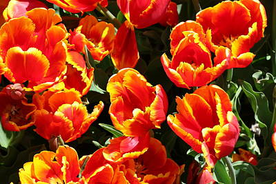 Photograph - Flaming Parrot Tulips by Allen Beatty
