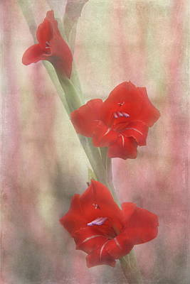 Gladiola. Red Gladiola Photograph - Flaming Red by Angie Vogel