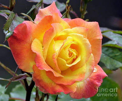 Photograph - Flaming Rose by Chris Anderson