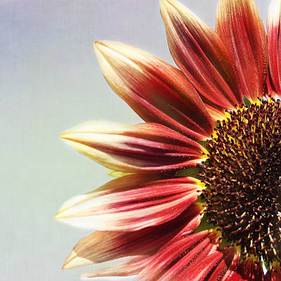 Photograph - Flaming Sunflower by Kim Hojnacki