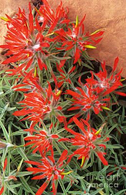 Photograph - Flaming Zion Paintbrush Wildflowers by Dave Welling