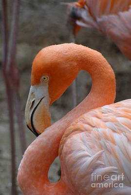 Photograph - Flamingo 1 by Padamvir Singh