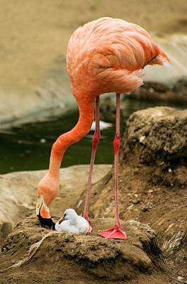 Photograph - Flamingo And Chick by Jane Girardot