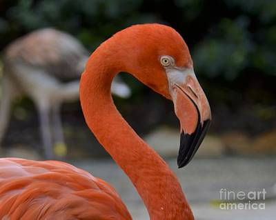 Photograph - Flamingo by Carol  Bradley