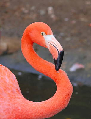 Flamingo Close Up Art Print