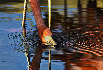 Photograph - Flamingo Close Up by Dave Dilli