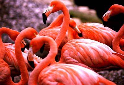 Photograph - Flamingo Dance by Robert  Rodvik
