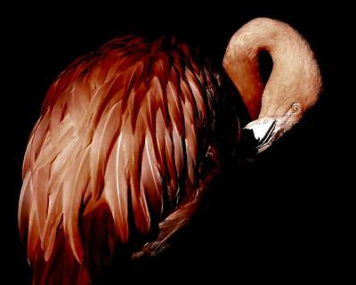 Photograph - Flamingo by Deena Stoddard