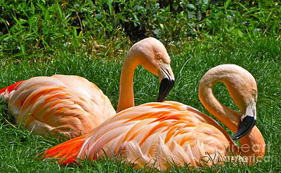 Photograph - Flamingo Duo by Eve Spring