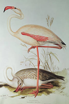 Flamingos Painting - Flamingo by Edward Lear