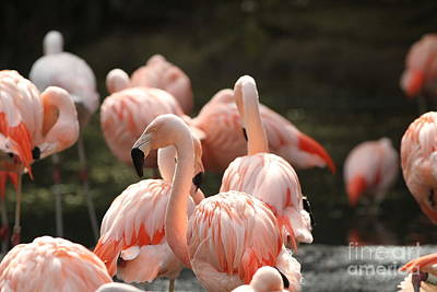 Photograph - Flamingo by Edward R Wisell
