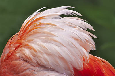 Pink Flamingo Nature Photograph - Flamingo Feathers by Susan Candelario