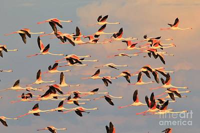 Photograph - Flamingo Flight - Pink Skies by Hermanus A Alberts