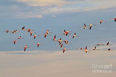 Photograph - Flamingo Flight Of Color by Hermanus A Alberts