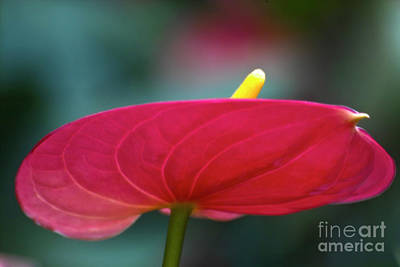 Anthurium Photograph - Flamingo Flower 1 by Heiko Koehrer-Wagner
