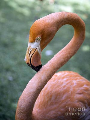 Photograph - Pink Flamingo by Glenn Gordon