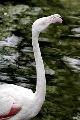 Photograph - Flamingo by Goyo Ambrosio