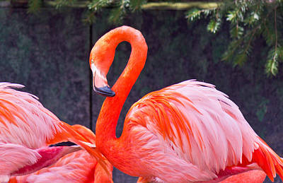 Photograph - Flamingo In The Wild by Jonny D