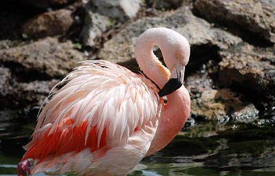 Photograph - Flamingo by Larah McElroy