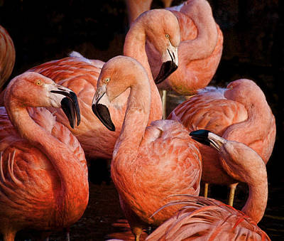 Art Print featuring the photograph Flamingo Lingo by Brian Tarr