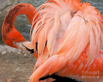 Photograph - Flamingo  by Rachel Munoz Striggow