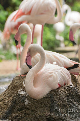 Birds Living In Nature Photograph - Flamingo Rest On Ground by Tosporn Preede