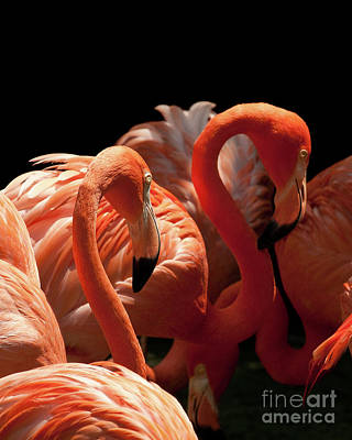 Photograph - Flamingoes by Rick Piper Photography