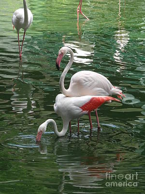 Photograph - Flamingos 2 by Padamvir Singh
