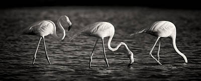 Netherlands Photograph - Flamingos Black And White Panoramic by Adam Romanowicz