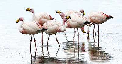 Photograph - Flamingos Bolivia 1 by Bob Christopher