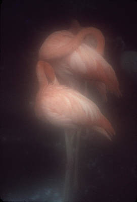 Flamingos Art Print by Bud Simpson