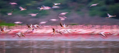 Flying Photograph - Flamingos In Dawn by David Hua