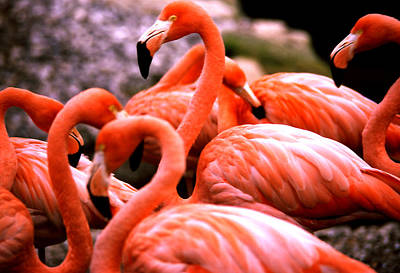 Photograph - Flamingos In Pink by Robert  Rodvik