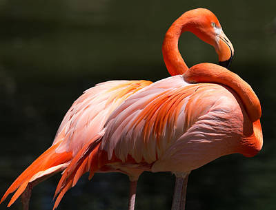 Photograph - Flamingos by John Kunze