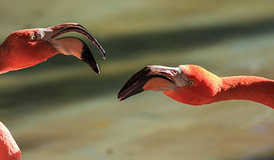 Photograph - Flamingos by Matthew Onheiber