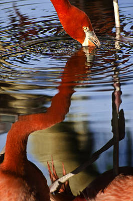 Photograph - Flamino Reflections 1 by Dave Dilli