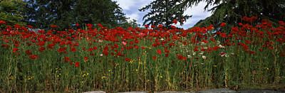 Anacortes Photograph - Flanders Field Poppies Papaver Rhoeas by Panoramic Images