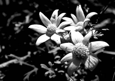 Photograph - Flannel Flower by Miroslava Jurcik