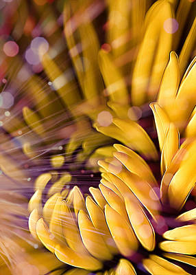 Gerber Daisy Photograph - Flashed Yellow Petals by Bill Tiepelman