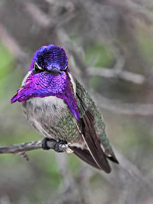 Photograph - Flashing Costa's Hummingbird by Theo OConnor