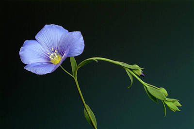 Linus Wall Art - Photograph - Flax Flower (linus Usitatissimum) by Bildagentur-online/th Foto/science Photo Library