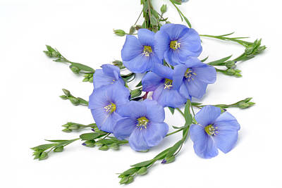 Linus Wall Art - Photograph - Flax Flowers (linus Usitatissimum) by Bildagentur-online/th Foto/science Photo Library