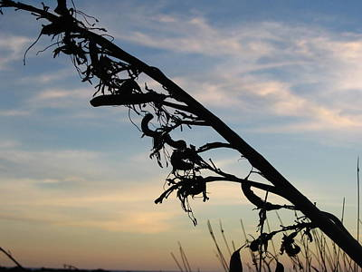 Photograph - Flax Silhouette by Amber Nissen