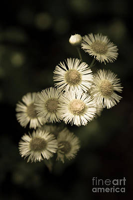 Photograph - Fleabane Wildflowers by Chris Scroggins