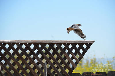 Photograph - Fledgling Kestrel Hawk Flies Off The Fence by Afroditi Katsikis