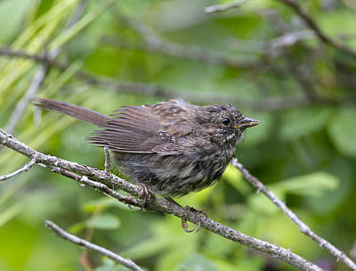 Photograph - Fledgling Song Sparrow by Doug Lloyd