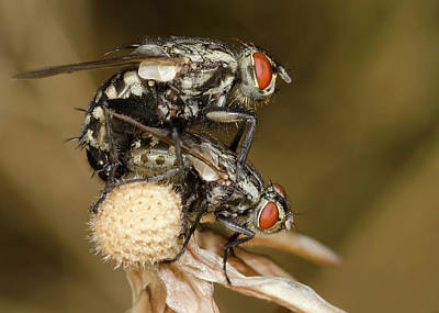 Flesh-flies Mating Art Print