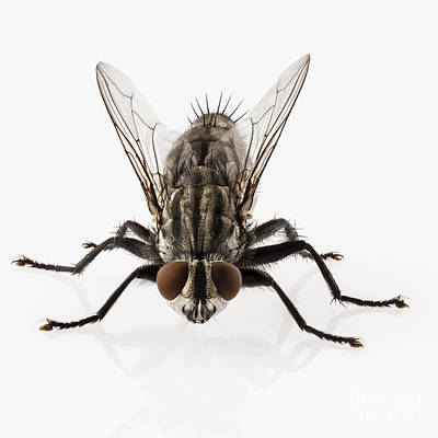 Housefly Wall Art - Photograph - Flesh Fly Isolated by Pablo Romero