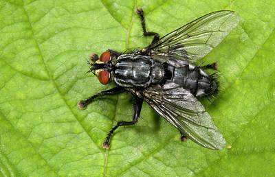 Flesh Fly Art Print by Nigel Downer