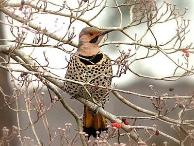 Flicker - Alabama State Bird - Attention Art Print